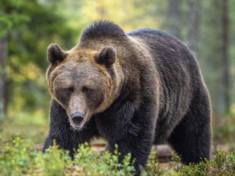 エゾヒグマ・ツキノワグマに遭遇したときの対処法【北海道・熊】