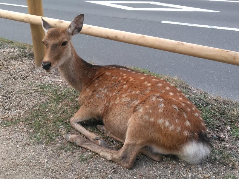 奈良公園で大仏を見ながらカワイイ鹿と遊ぼう【奈良・観光】