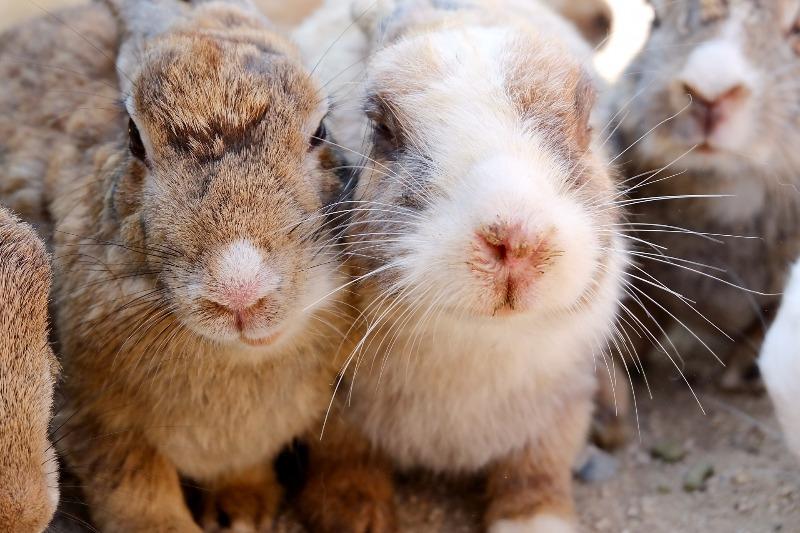 ウサギ島『大久野島』の行き方・アクセスと魅力【広島観光旅行】
